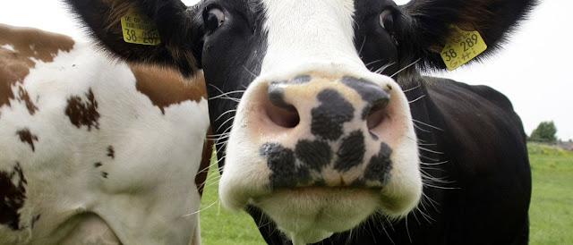 Primera granja de cría de ganado inteligente en Stepanavan
