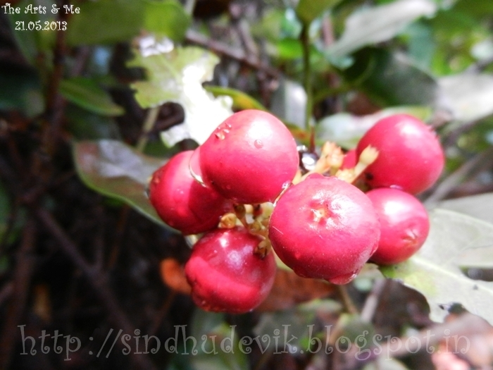 A bunch of red seedy fruit of Ixora in close up.