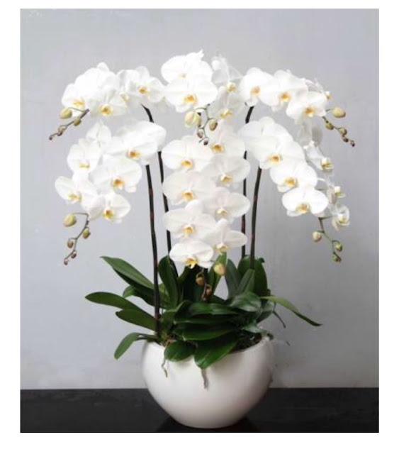 ý nghĩa hoa lan hồ điệp trắng