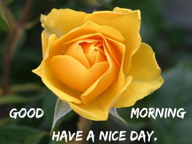Good Morning Yellow Rose Flowers Images HD