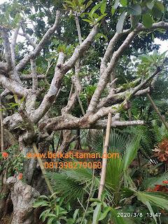 pohon kamboja fosil besar