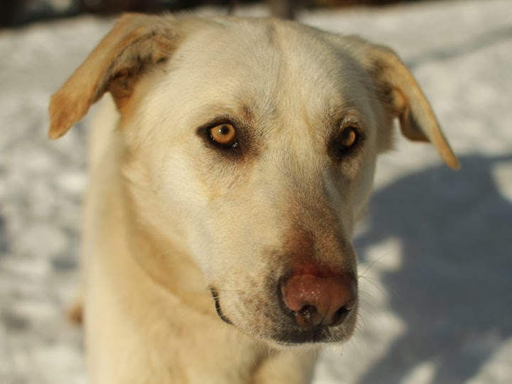 The gallery for --> Yellow Lab Golden Retriever Mix