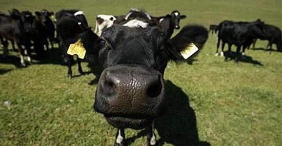 7 Curiosidades sobre Cheetos - Vacas para produção de Cheetos