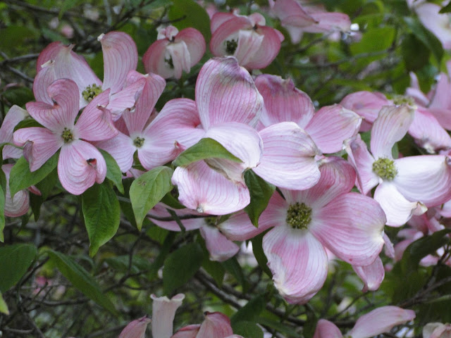 dogwood pink flowers