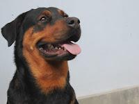 cerita Moly, anjing Rotweilerku