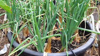 Shallots growing well