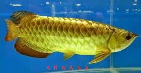 Gambar ikan arwana black golden