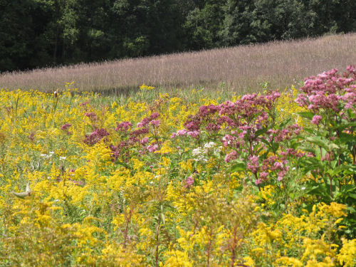 goldenrod and Joe-pye weed