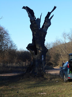 A bánya-hegyi nagy fa