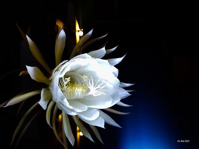 Hoa Nở Về Đêm
