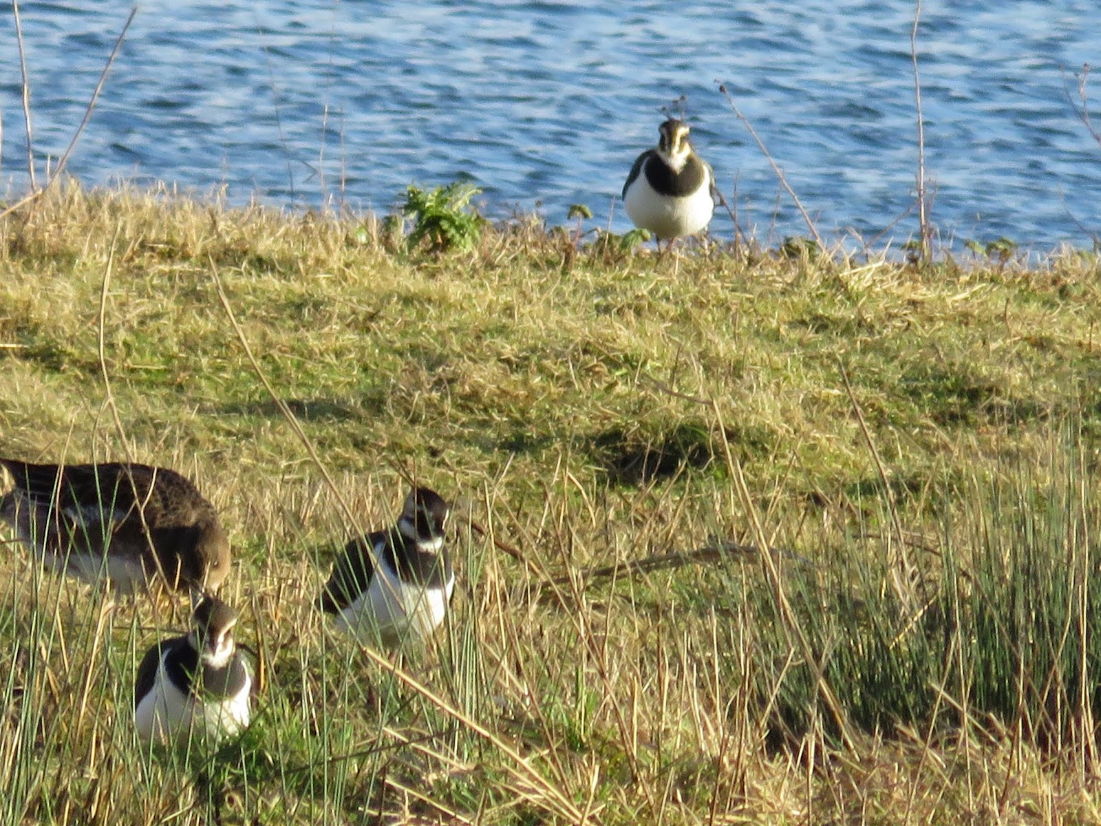 WWT London Wetland Centre: Lapwings
