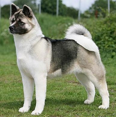 Dog Breed American Akita