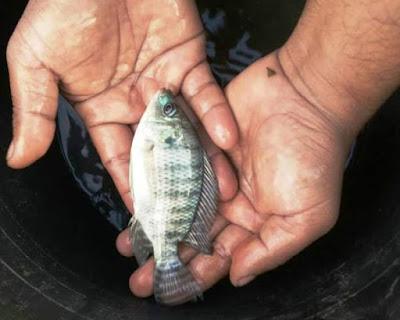 Cara Budidaya Ikan Nila untuk Bisnis