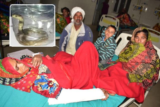 सर्पदंश से पीड़ित महिला के इलाज को पहुंचे अस्पताल, लेकिन ये क्या..कोबरा के साथ !