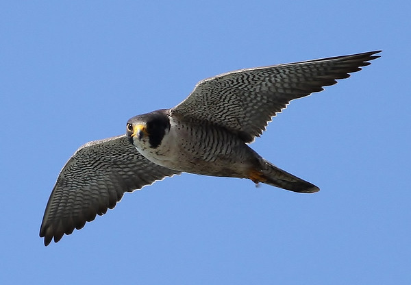 Peregrine Falcon Attacking