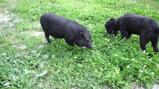 Vietnamese Pot-bellied Pig Origin, Facts, Size, Weight, Life-Span