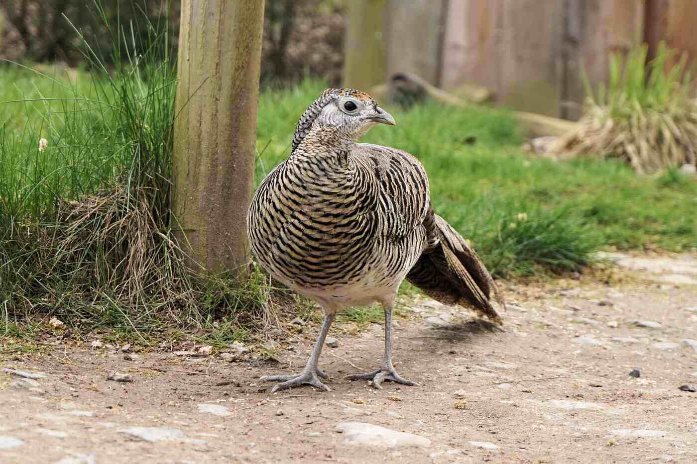 female golden pheasant - 20 cool facts about the golden pheasant