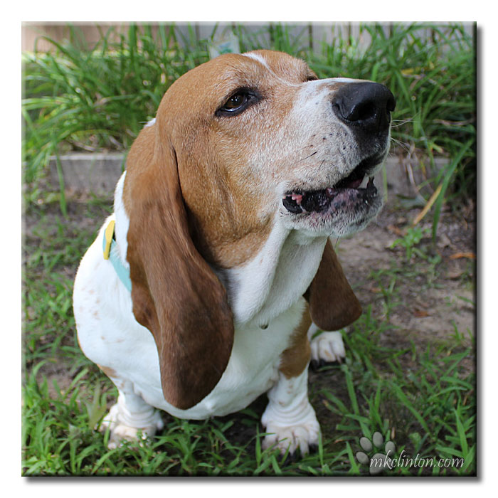 Basset Hound talking