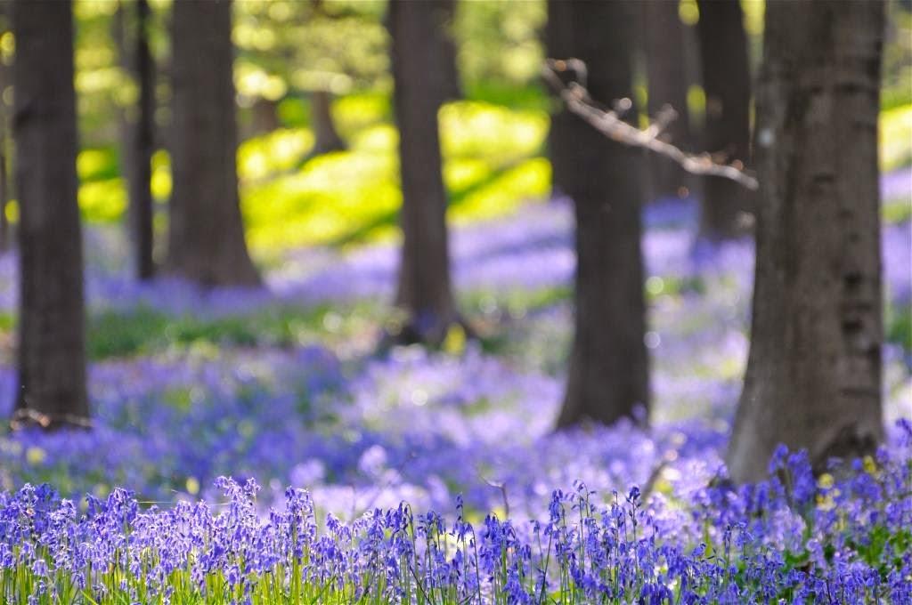 hyacinten, lente