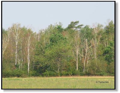Waldrand mit vertrockneten Birken