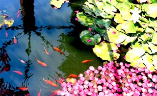 Tips bagaimana pemeliharaan ikan hias di kolam yang baik dan benar