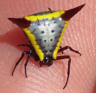 Micrathena rufopunctata