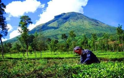 perkebunan teh malabar-tempat wisata di bandung