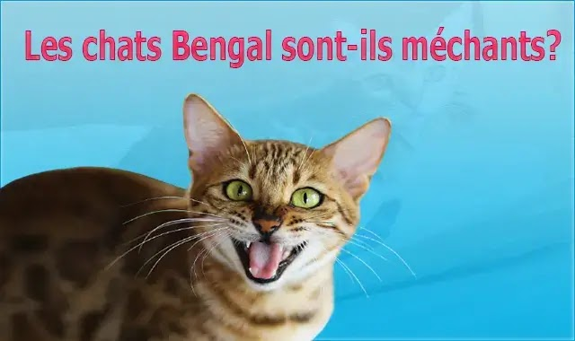 chat de bengal taille adulte