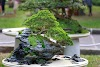 Bonsai at home: how to properly care for the dwarf trees