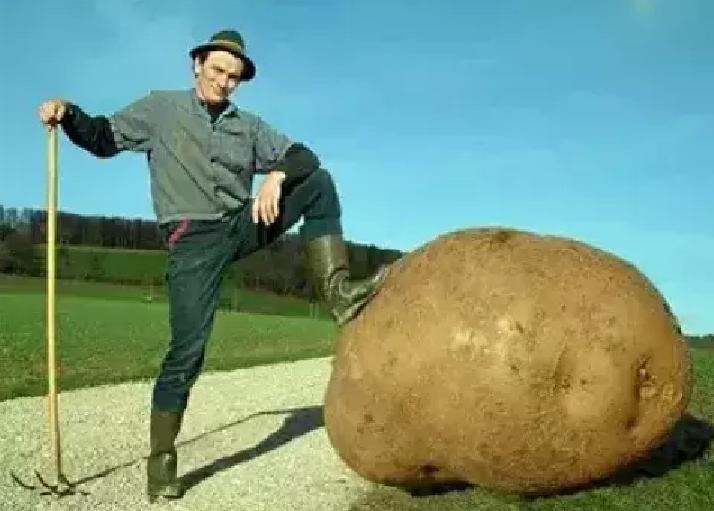 world's biggest potato