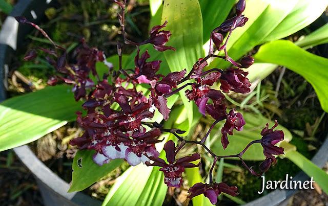 Orquídea Oncidium Sharry Baby - Floração