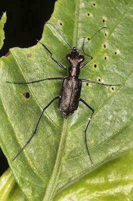 Escarabajo tigre (Odontocheila chrysis)