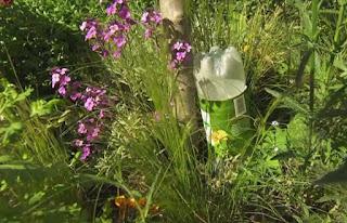 Watering fig