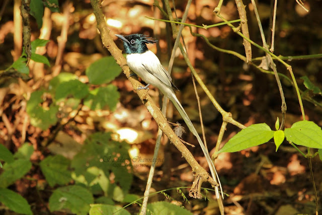 male Indian Paradise-Flycatcher