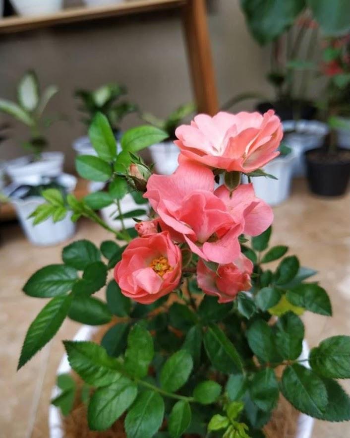 Tanaman Hias Bunga Hidup Mawar Floribunda Berbunga Parepare