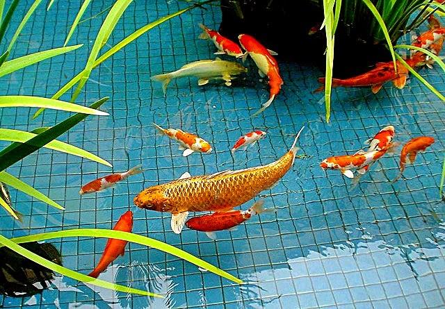 Tips Membersihkan Kolam Ikan dan Akuarium