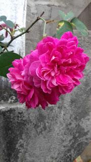 hoa hồng tường vi leo cao