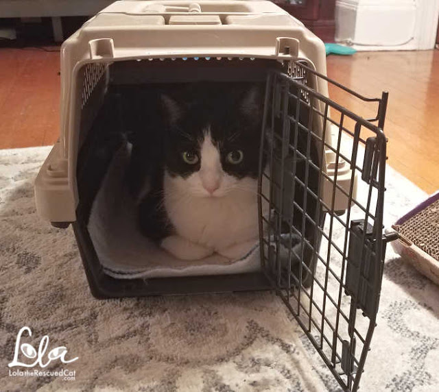 Cat Friendly Home black and white cat relaxing in a carrier