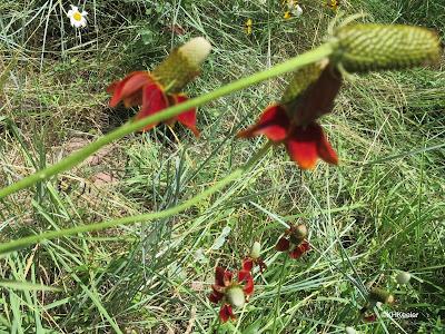 prairie coneflower, Ratibida