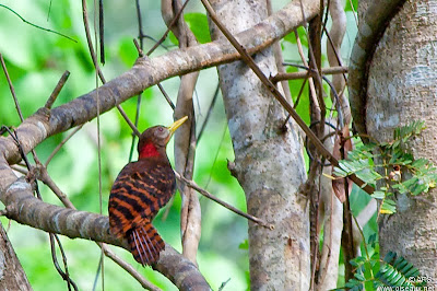 Bay Woodpecker