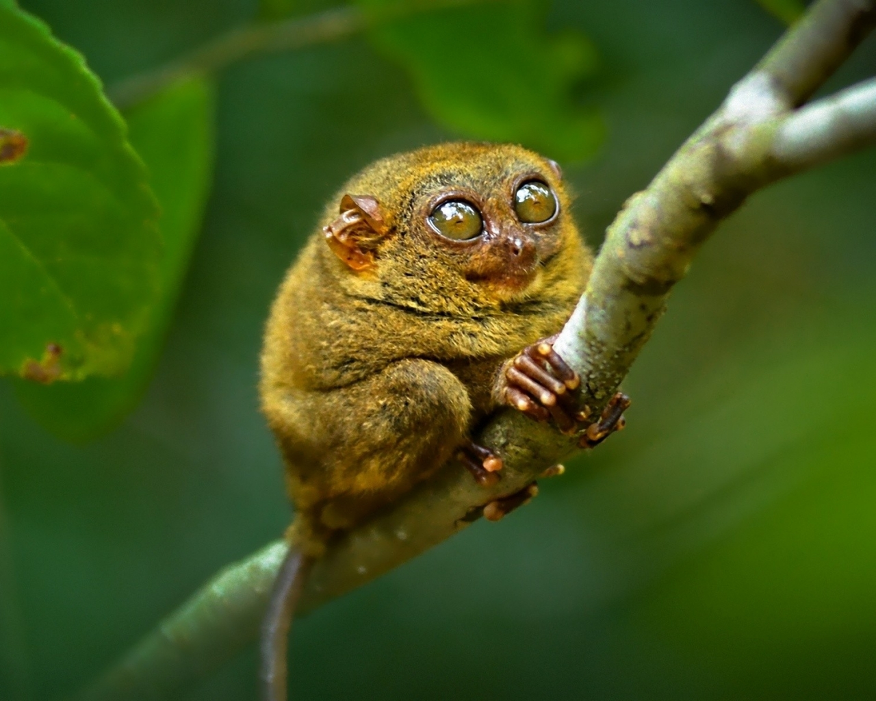 Tarsier Pictures and Wallpapers - Pets Cute and Docile