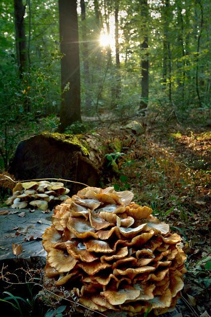 Le gros Fouteau, Forêt de Fontainebleau