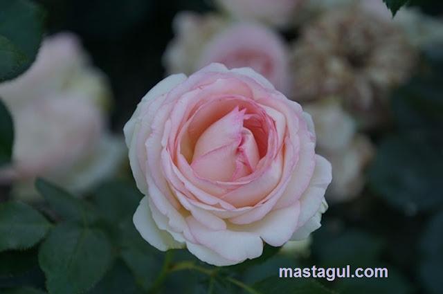 Bunga Mawar yang Bisa Dijadikan Inspirasi