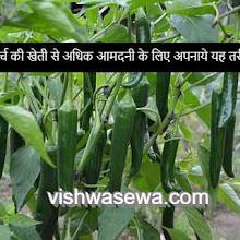 अधिक आमदनी के लिए ऐसे करे मिर्च की खेती | Mirch ki kheti