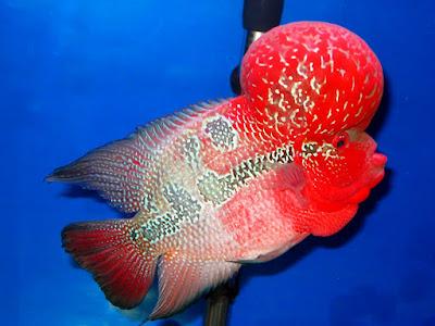 Ini Dia, Pakan Pelet Ikan Louhan Yang Bagus Untuk Pertumbuhan Dan Warna
