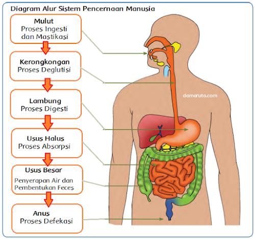 damaruta.com diagram alur sistem pencernaan manusia
