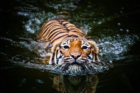 mèo lớn trong tự nhiên thích xuống nước