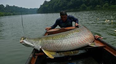 Inilah Sebabnya Mengapa Ikan Arapaima Sangat Berbahaya Jika Dilepas Ke Danau, Waduk Dan Sungai Di Indonesia