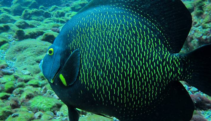 Peixe-Anjo-Francês (Pomacanthus paru)