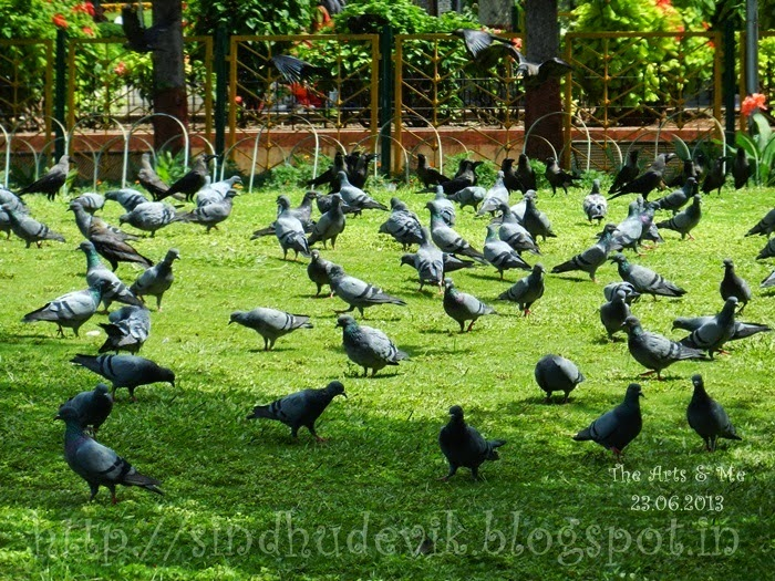 A huge number of pigeons and crows captured at Sarasbaug, Pune, Maharashtra, India
